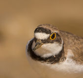 Portrait of A Little Ringed Plover Stock Image