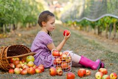 Portrait of little schoool girl in colorful clothes and rubber gum boots with red apples in organic orchard. Adorable. Happy healthy baby child picking fresh royalty free stock photos