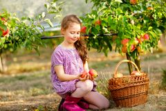 Portrait of little schoool girl in colorful clothes and rubber gum boots with red apples in organic orchard. Adorable. Happy healthy baby child picking fresh royalty free stock photography