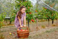 Portrait of little schoool girl in colorful clothes and rubber gum boots with red apples in organic orchard. Adorable. Happy healthy baby child picking fresh stock image