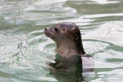 Portrait of a little seal Stock Photos