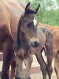 Portrait of  little  sportive  foal Stock Image
