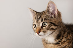 Portrait little striped cat Royalty Free Stock Photo