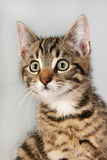 Portrait little striped cat Royalty Free Stock Photography