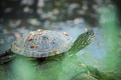 Little water turtle. Portrait of little water turtle Stock Image