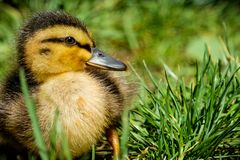 Portrait of a little yellow baby duck. In green grass in spring stock image