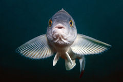 Portrait of live fish in sea of japan Royalty Free Stock Photo
