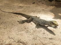 Portrait of live monitor lizard, varan in sand ground, Thailand royalty free stock photo
