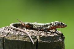 Portrait of Lizard Stock Image