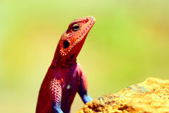 Portrait of lizard Royalty Free Stock Images