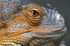Portrait of a lizard. Closeup of the eye of a lizard Stock Image