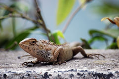 Portrait of lizard Stock Images
