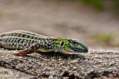Portrait of lizard Stock Images