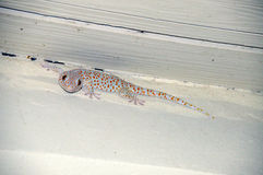 Portrait of a lizard gecko orange speck Royalty Free Stock Image