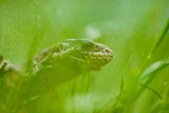 Portrait of lizard in grass royalty free stock photos