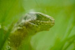Portrait of lizard in grass royalty free stock photo