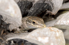 Portrait of a lizard. Nice portrait of a lizard hidden in his lair Stock Photo