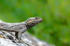 Lizard. Portrait of lizard on rock.(lacerta saxicola Royalty Free Stock Photo