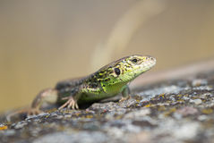 Portrait of a lizard Stock Image