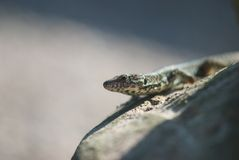 Portrait of lizard Royalty Free Stock Image