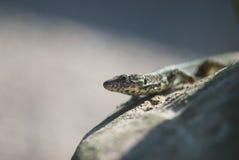 Portrait of lizard Royalty Free Stock Image