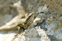 Portrait of lizard Stock Photo