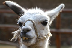 Portrait of a Llama Royalty Free Stock Photo