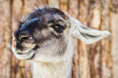 Portrait of Llama Royalty Free Stock Photography