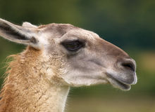 Portrait of a Llama. Portrait of an attentive Llama in a wildlife park Stock Images