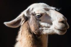 Portrait of Llama on black background. Royalty Free Stock Image