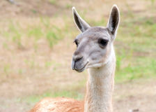 Portrait of a llama Stock Photos