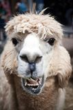 Portrait of llama eating. Portrait of tan colored llama sticking out its tongue Royalty Free Stock Photos