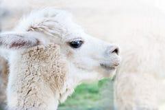 Portrait Of Llama Stock Photography