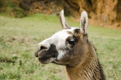 Portrait of a llama in a park in the middle of nature stock photography