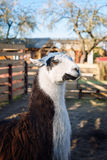 Portrait of Llama in the park or zoo. Funny domestic lama glama.  Royalty Free Stock Photo
