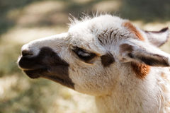Portrait of llama Stock Image