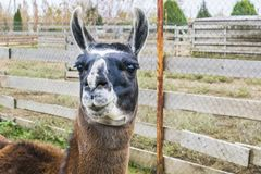 Portrait of a llama. Lama looks at the camera behind is a fence Royalty Free Stock Photography