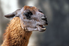 Portrait of Llama Stock Images