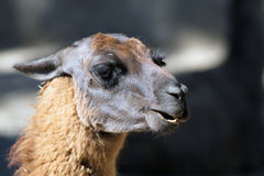 Portrait of Llama Royalty Free Stock Photo