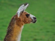 Portrait of a llama. Wonderful head of a llama with shaggy hair Stock Photos