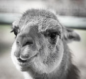 Portrait of a llama in a zoo Royalty Free Stock Photos