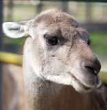 Portrait of a llama in a zoo Stock Photo