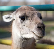 Portrait of a llama in a zoo Stock Photography
