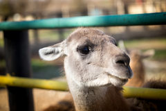 Portrait of a llama in a zoo Royalty Free Stock Photo