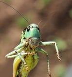 Portrait of a locust. Stock Photos