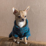Portrait of lonely Chihuahua wearing knitted sweater and sitting on a sofa back Stock Photo