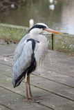Portrait of a lonely Grey Heron in Hyde Park, London Royalty Free Stock Photo
