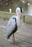 Portrait of a lonely Grey Heron in Hyde Park, London Royalty Free Stock Photos