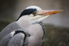 Portrait of a lonely Grey Heron in Hyde Park, London Royalty Free Stock Images