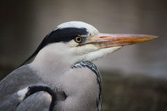 Portrait of a lonely Grey Heron in Hyde Park, London Stock Photo